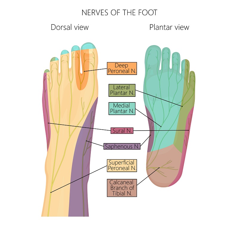 Nerves of the foot